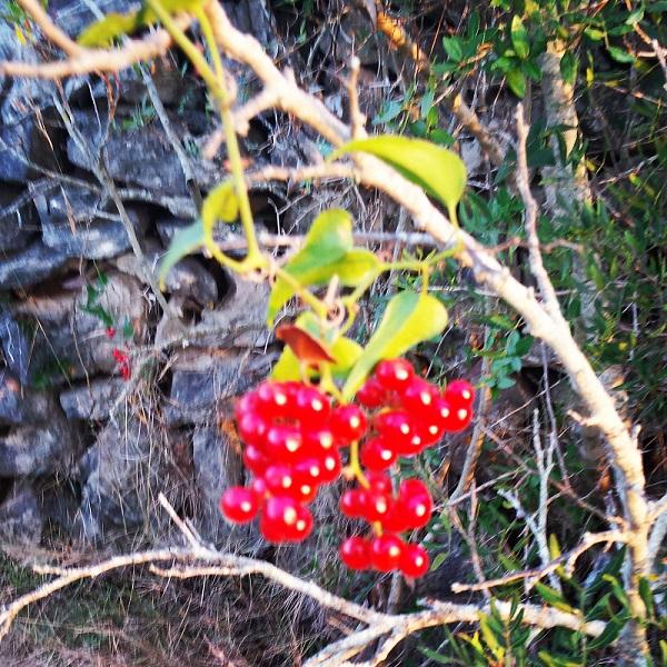 Korčula-vegetacija