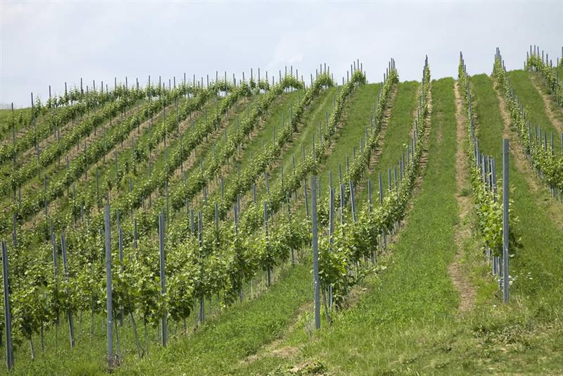 vinograd2-1000[1] (Medium)