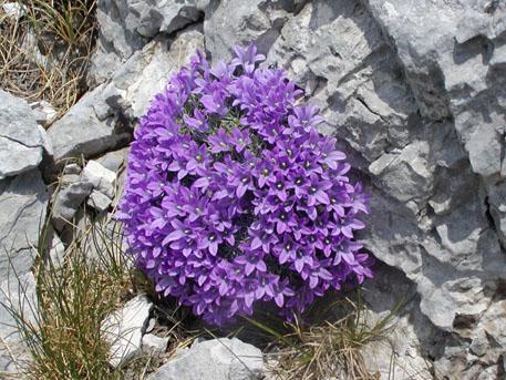 Biokovsko-zvonce-Edraianthus-pumilio_fancybox
