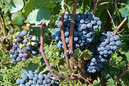 vinogradi Pelješac TZ Dubrovnik