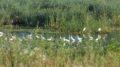 bijele-caplje