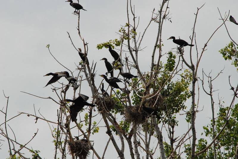 kormorani