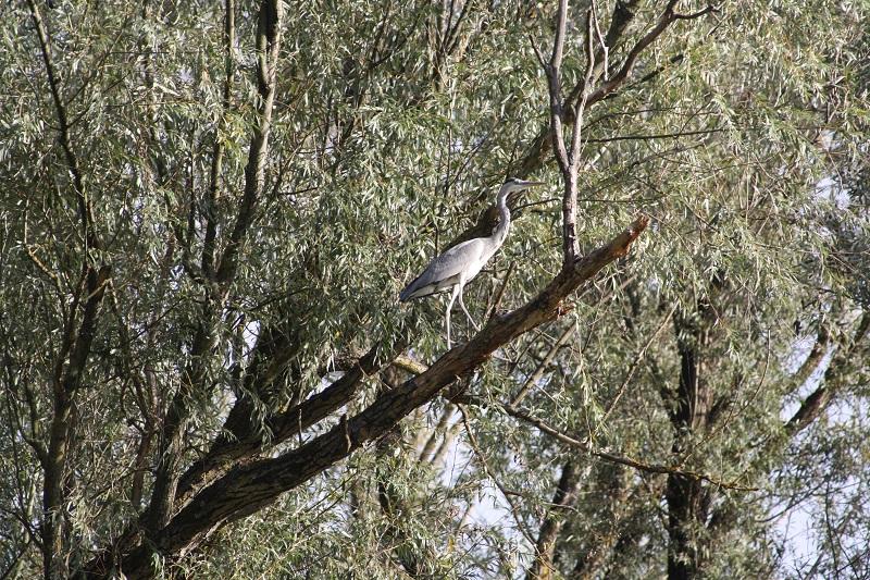 siva-caplja