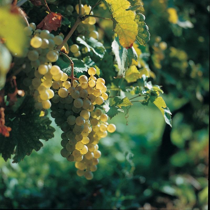 vinogradi-8